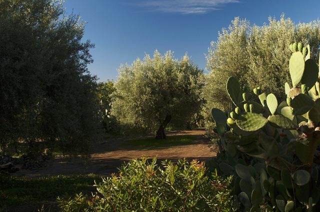 Alberi di olivo secolari prima della potatura - Photo Credits @enzosignorelli.