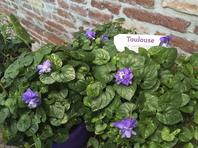 la Violetta di Tolosa - Photo Credits @maisondelaviolette