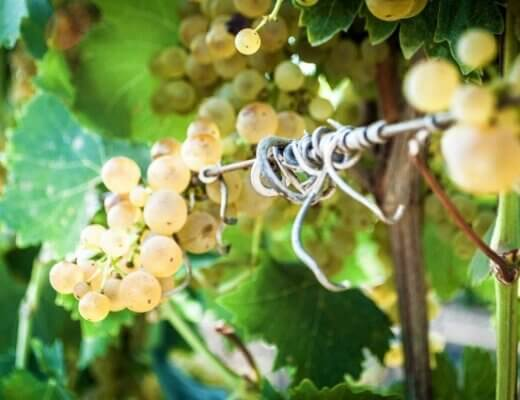 vigna e uva Daunia